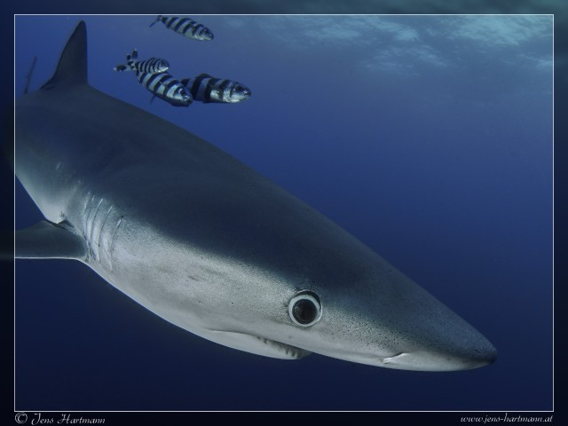 P9160789_Blue_Shark_Original.jpg