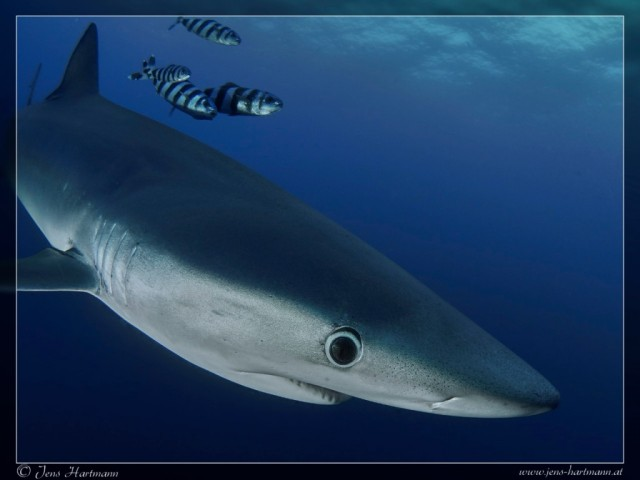 P9160789_Blue_Shark_Resize_IrfanView.jpg